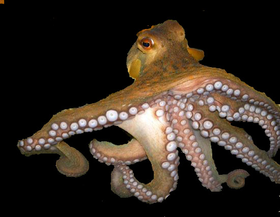 Sucker for soccer: octopus predicts World Cup finalist